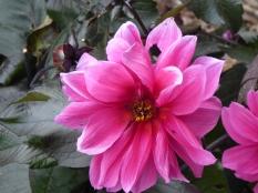 Dahlia 'Fascination'