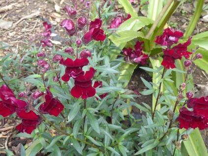 Antirhinum 'Black Prrince'