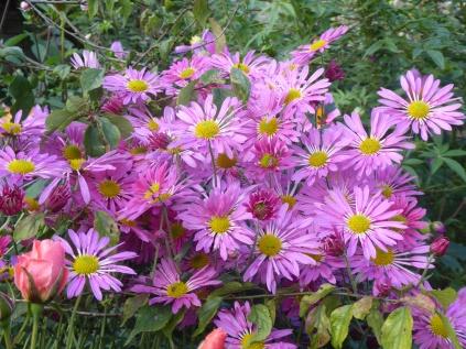 Chrysanthemum 'Stratford Pink'