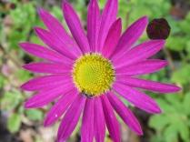 Chrysanthemum 'Jessie Cooper'