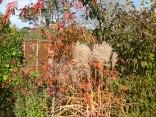 Prunus subhirtella 'Autumnalis 'Rosea' with Miscanthus