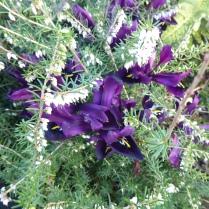 Iris reticulata 'Pauline'