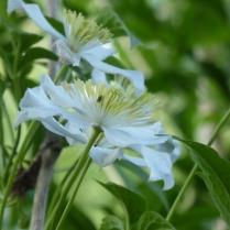 Cleemayis montana var. wilsonii